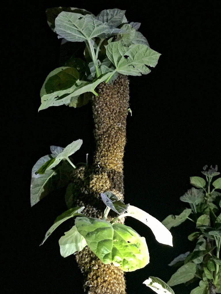 Bienenschwarm bei Nacht