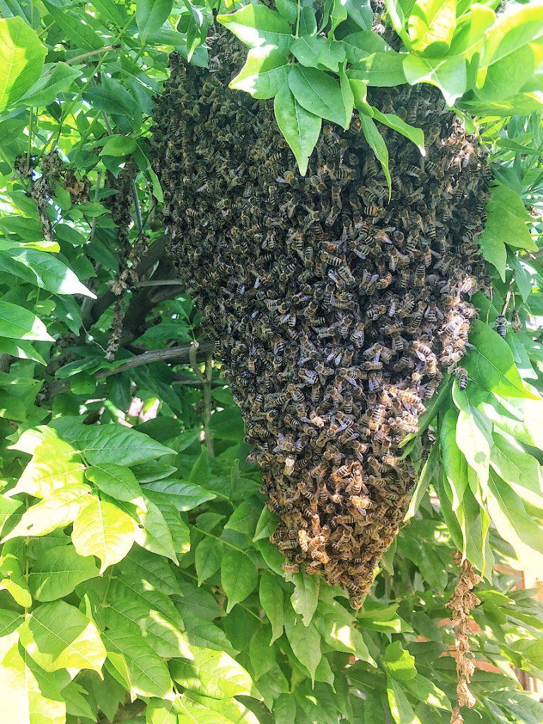 Bienenschwarm in Wegberg-Gerichhausen