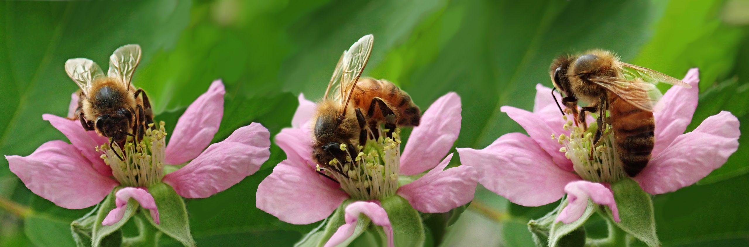 Honigbienen auf Brombeerblüten