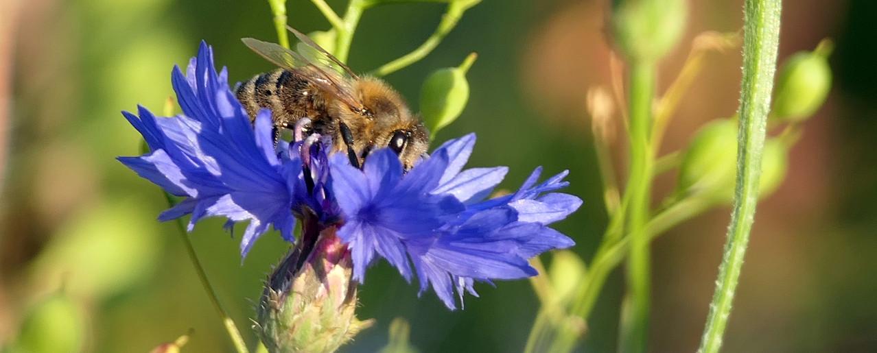 Honigbiene auf Kornblume