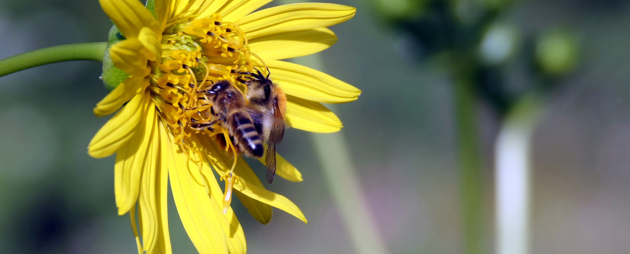 Honigbiene und Wildbiene im Team
