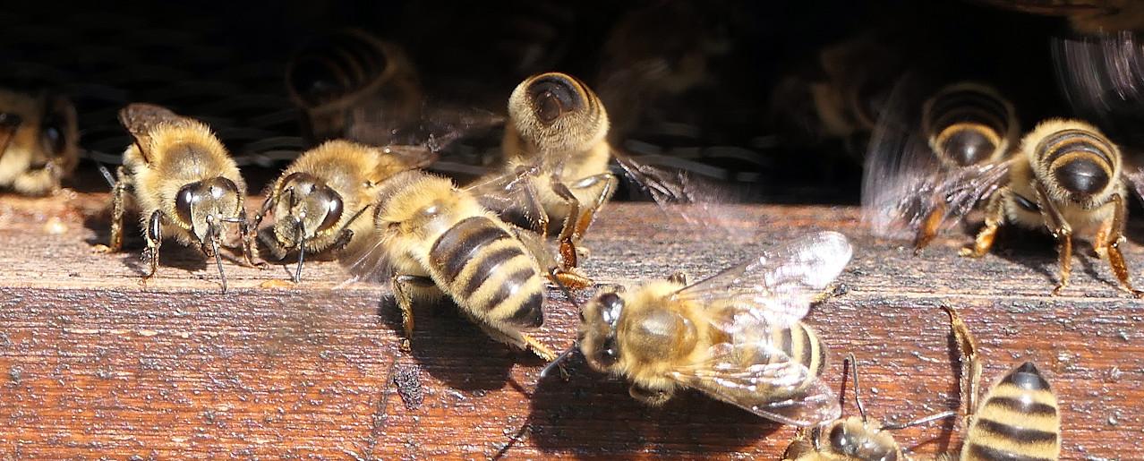 Honigbienen am Flugloch