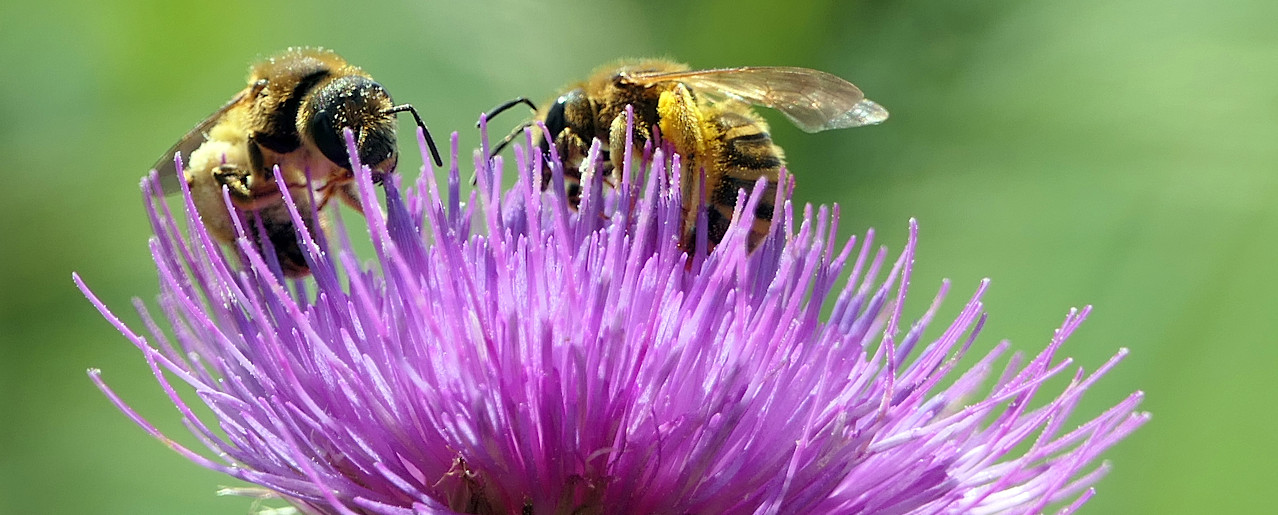 Honigbienen auf einer Distelblüte