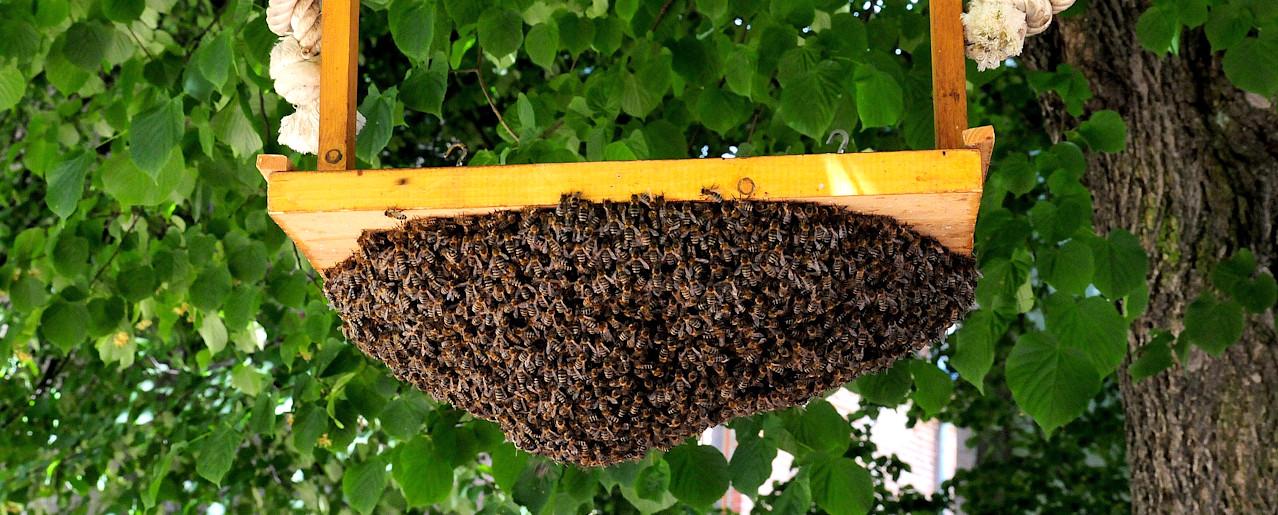 Bienenschwarm unter einer Holzschaukel