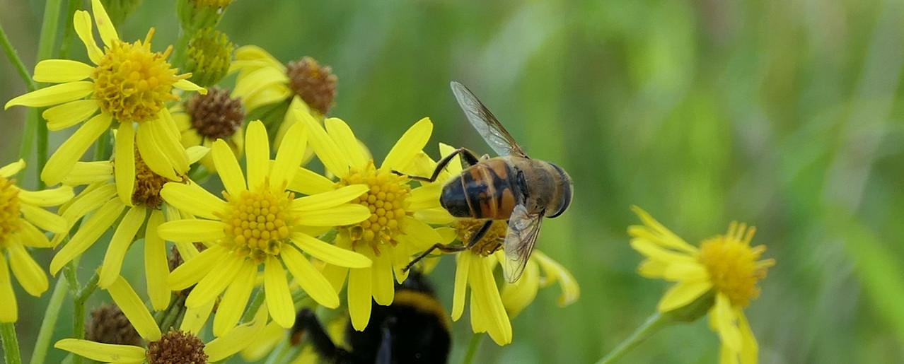 Hummel und Biene auf den Blüten des Jakobskreuzkraut